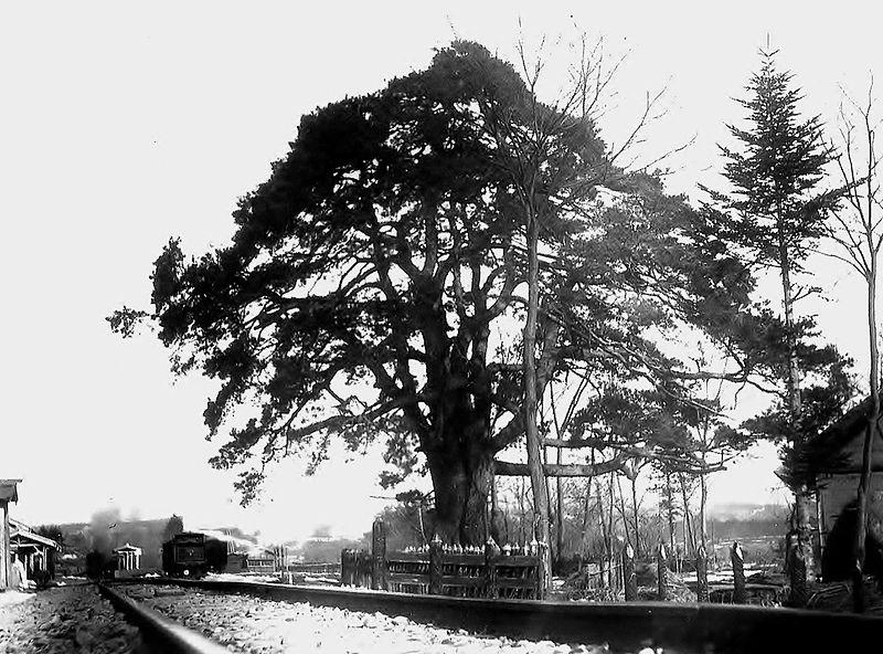 健在な頃の信玄公旗掛松。1906(明治39)年撮影。(長坂町誌上巻より)